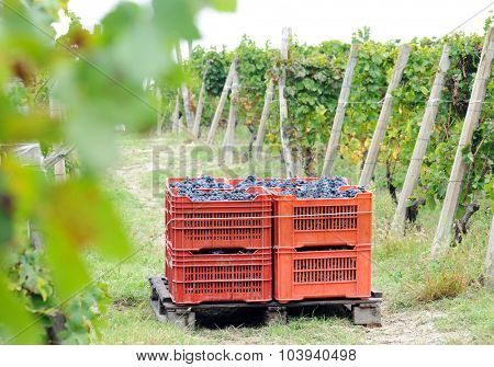harvesting grape