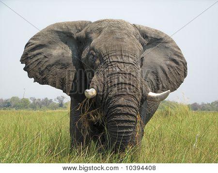 Okavango Delta Elephant