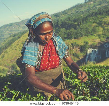 Tea Picker Picks Leaves Agriculture Concept