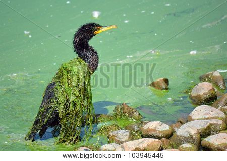 Slime Covered Cormorant Bird on a Weed and Algae Covered Lake