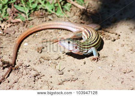 Whip-Tail Lizard
