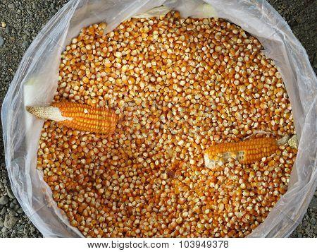 Dried Corn Kernels