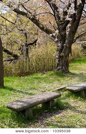 Empty Stone Bench Under Japanese Cherry Tree