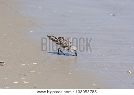 Semipalmated Sandpiper Feeding On The Shore