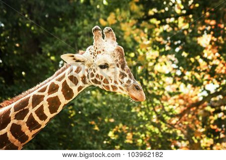 a portrait of a pretty giraffe in a zoo
