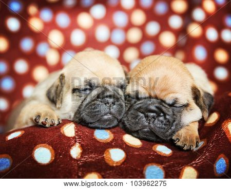 cute chug pug puppies in a polka dot blanket sleeping