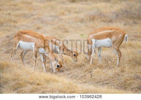 Blackbuck Antelope Herd