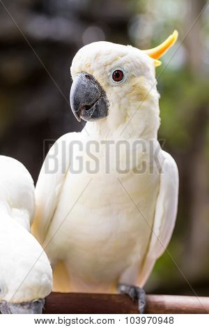 Sulphur-crested Cockatoo, Cacatua Galerita Perched On Branches