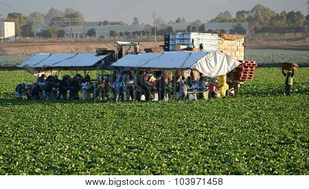 SALINAS, CA, USA - Sept 20,2015: Farm workers using a unique conveyor belt system to harvest Lettuce from a field.