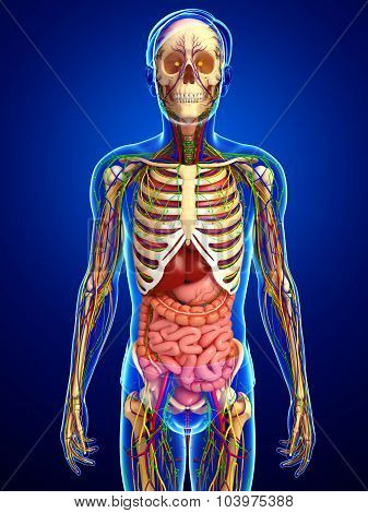 Lymphatic, Skeletal, Nervous And Circulatory System Of Male Anatomy Body