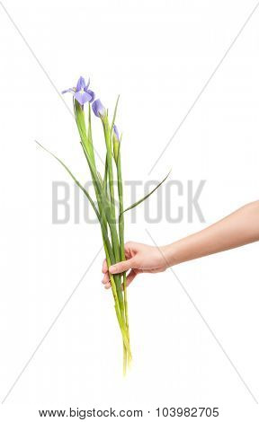 Iris flower in hand isolated on white background
