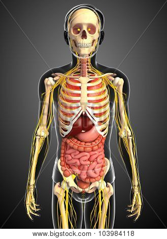 Male Skeleton With Nervous And Digestive System Artwork
