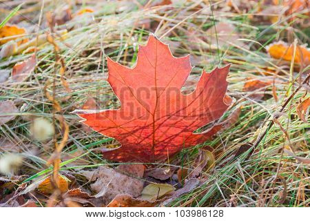 Red Oak Leaf Among The Withered Grass
