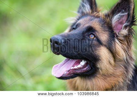 Young dog german shepherd on the grass