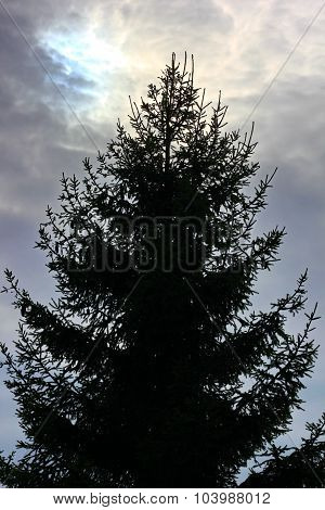 the silhouette of the fir tree against the sky
