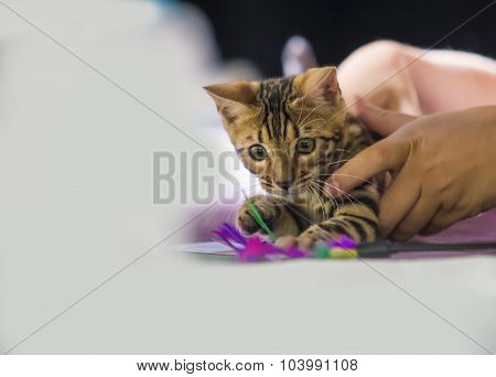 Kitten Breed Bengal Cat With Toy
