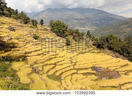 Golden Terraced Rice Field In Solukhumbu Valley, Nepal