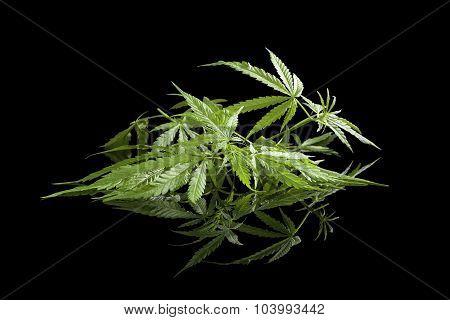 Cannabis Isolated On Black.