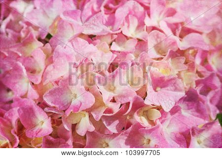 Close up of a pink hydrangea flower with a vintage textured effect.