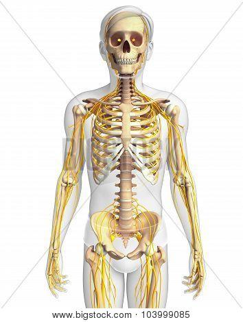 Male Skeleton And Nervous System Artwork