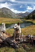 picture of heeler  - Red heeler Australian Cattle Dog posing on fallen tree in mountain pasture river meadow peaks Summer sky behind Emigrant Wilderness Sierra Nevada Range California.
