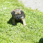 picture of border terrier  - puppy  - JPG