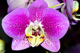 stock photo of epiphyte  - A close up view of a Phalaenopsis orchid flower - JPG
