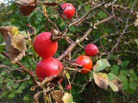foto of foursome  - Detail of ripe rosehips at the end of branches - JPG