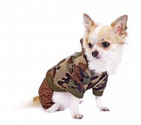 stock photo of khakis  - Chihuahua dog wearing fashion khaki jumpsuit sitting on white background - JPG