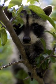 picture of raccoon  - A baby raccoon playing in a tree - JPG