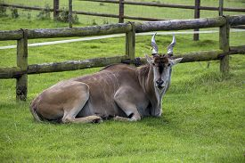 pic of eland  - Showing different specicies od a Eland animal common and giant part of the antelope family and similar to bongo - JPG
