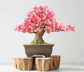 foto of azalea  - blooming bonsai azalea in spring on exhibition - JPG