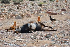 picture of corpses  - Corpse of the dead cow on the ground surrounded by vultures - JPG
