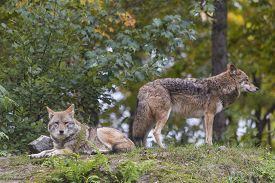picture of coyote  - A pair of coyotes in the fall season - JPG