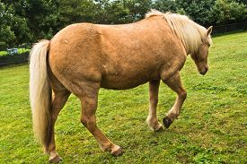 picture of iceland farm  - Icelandic horse at pasture on a green meadow - JPG