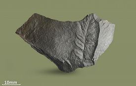 picture of paleozoic  - Prints of ancient plants that lived on earth 320 million years ago - JPG