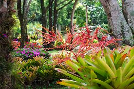 stock photo of bromeliad  - Garden of colorful bromeliads, 