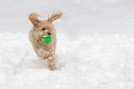 stock photo of cockapoo  - A dog running and playing ball in the snow - JPG
