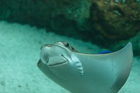 image of stingray  - The whiptail stingray  - JPG