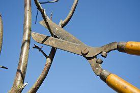 stock photo of prunes  - Pruning apple tree branch with scissors in spring garden - JPG