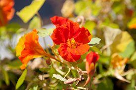 foto of nasturtium  - nasturtium flower with orange red blossom on the balcony. ** Note: Soft Focus at 100%, best at smaller sizes - JPG