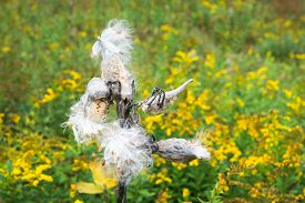 picture of goldenrod  - Milkweed Pods burst to release their seeds in a green field with yellow Goldenrod flowers - JPG