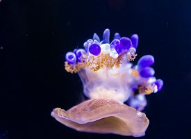 foto of jellyfish  - A Beautiful jellyfish floating in aquarium water - JPG