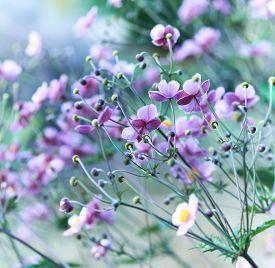 image of windflowers  - Japanese Anemone  - JPG