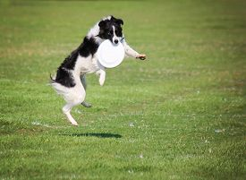 picture of spayed  -  a cute dog in the grass at a park during summer catching a disc  - JPG