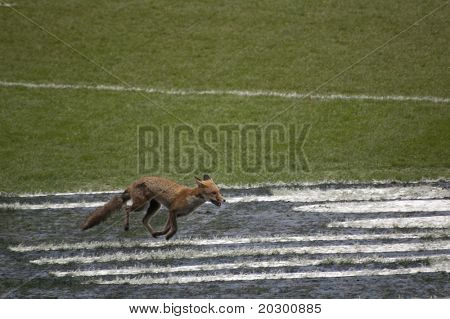 TWICKENHAM LONDON - MAR 13: Fox running on the pitch at England vs Scotland, England playing in white Win 22 -16, at RBS Six Nations Rugby Match on March 13, 2011 in Twickenham, England.