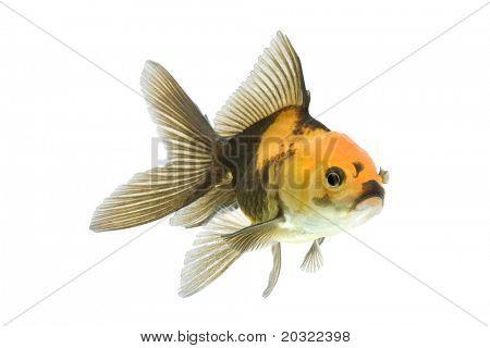Goldfish oranda rojo y negro nadando contra el fondo blanco.