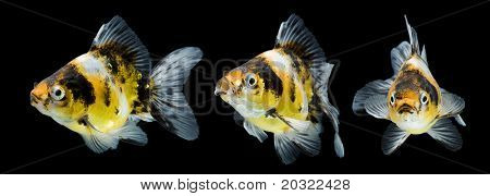 Series of calico ryukin goldfish swimming against black background.