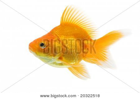 Sideview of ryukin goldfish swimming against white background.