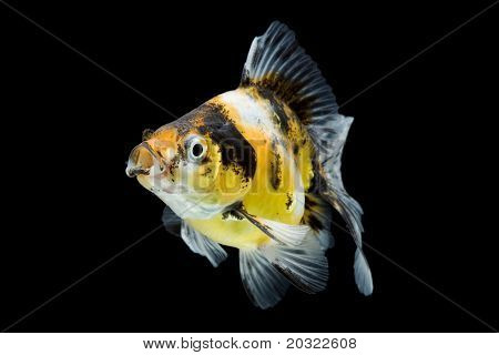 Calico ryukin goldfish swimming against black background.